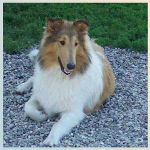 Beautifuk Reba, female sable collie